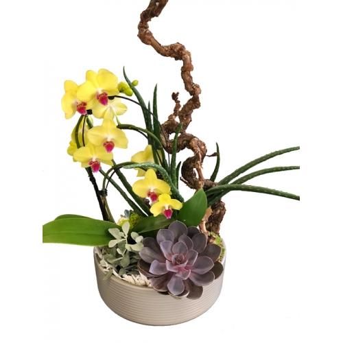 Crassulacée & Orchidée