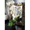 Orchidée Corfu