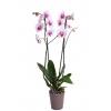 Orchidée Blanche & Fuschia avec Cache Pot